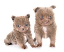 Puppy Pomeranians In Studio