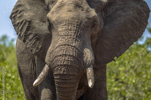 Portrait of African Elephant Canvas Print