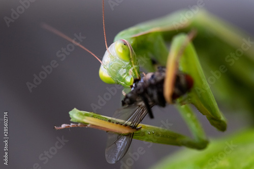 Praying mantis eating a fly Canvas Print