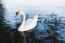 A Swan Swimming In The Lake.