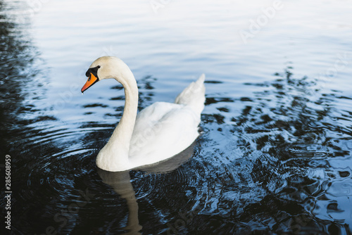 Keuken foto achterwand Zwaan A swan swimming in the lake.