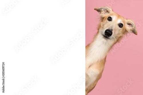 Silken windsprite portrait looking around the corner of a white empty board for copy space - 285609724