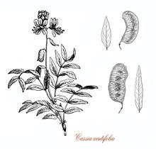 Cassia Acutifolia Or Senna Ale...