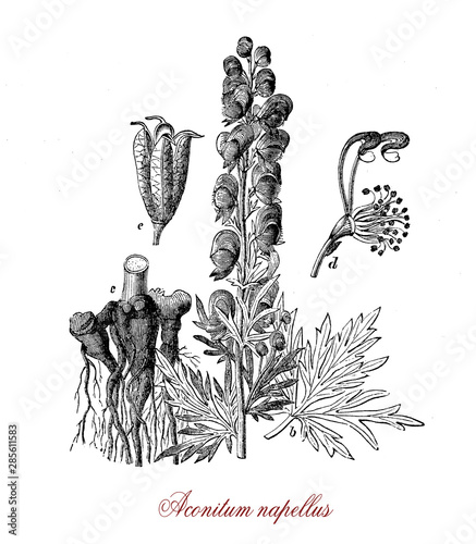 Aconitum napellus or monk's-hood is a plant cultivated for the blue purple flowers arranged in spiky inflorescences Canvas Print