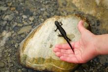 Molch Auf Stein Mit Kinder Hand