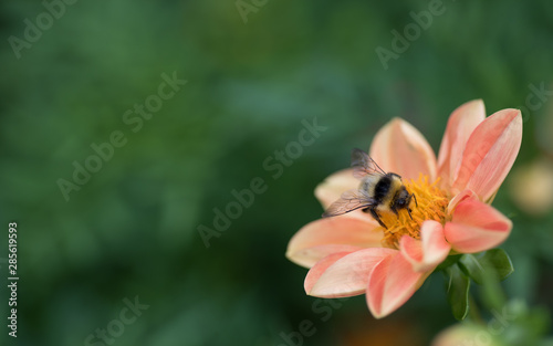 Fotografia Bumblebee  gathering nectar and pollen on a salmon color flower