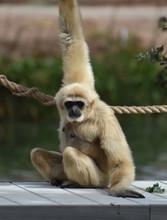Black Face On A Blonde Javan Lutung Monkey
