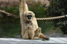 Sweet Face Of A Javan Langur Monkey Sitting Up