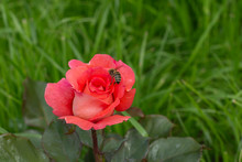 Pink Closed Rose Flower, A Bee Pollinates A Rose Bud On A Background Of Green Grass