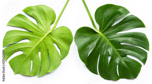 Poster Vegetal Monstera plant leaves on white