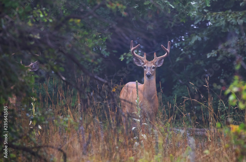Poster Cerf White-tailed deer buck on an early morning with velvet antlers in summer in Canada