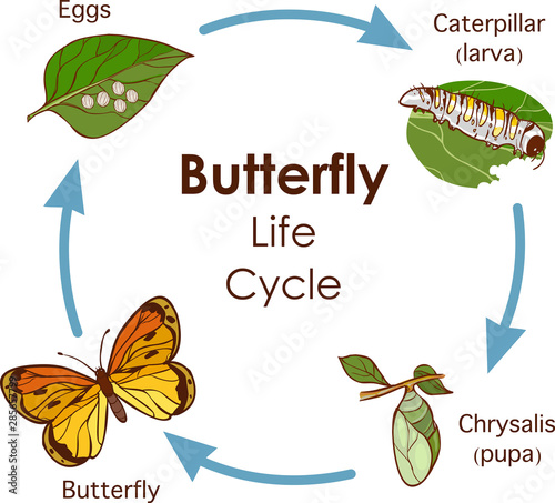 vector illustration of Life Cycle of Butterfly diagram Wallpaper Mural