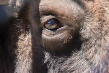 Bison, The Last Representative...
