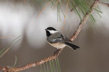 Black Capped Chickadee (Poecile Atricapillus) Perches On A Tree Branch
