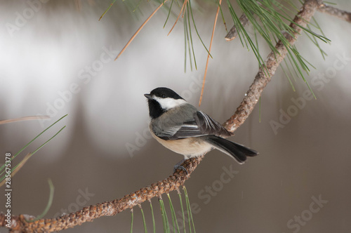 Photo Black capped Chickadee (Poecile atricapillus) perches on a tree branch