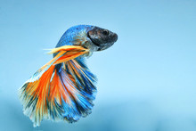 "Betta Fish ""Half Moon"" Has Blu..."