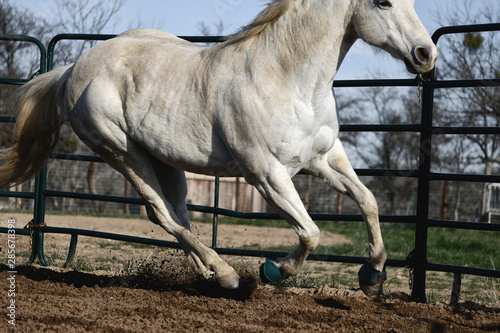 Gray mare being lunged in round pen, horse in motion running.