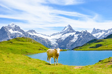 Cow In Front Of Beautiful Bach...