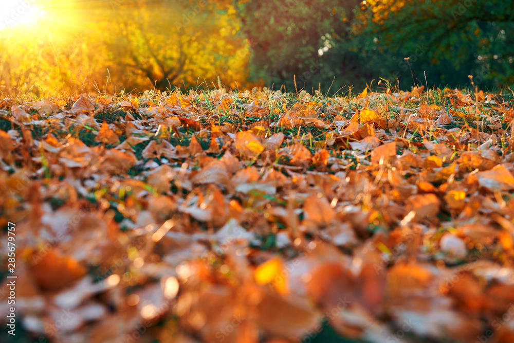 Fototapety, obrazy: beautiful glade and trees in the autumn forest, bright sunset and landscape in fall season