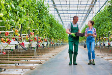 Senior Farmer Carrying Tomatoes In Crate While Talking To Coworker Holding Clipboard At Greenhouse