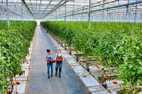 Fototapety, obrazy: Young beautiful farmers talking while carrying newly harvest tomatoes in crate at greenhouse