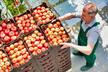 Senior Male Farmer Arranging Newly Harvest Tomatoes In Crate
