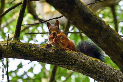 Fotobehang Eekhoorn Squirrel with nuts in mouth on the tree.