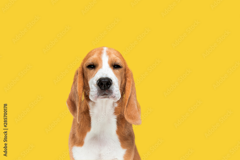Fototapety, obrazy: Beagle tricolor puppy is posing. Cute white-braun-black doggy or pet is playing on yellow background. Looks calm and confident. Studio photoshot. Concept of motion, movement, action. Negative space.