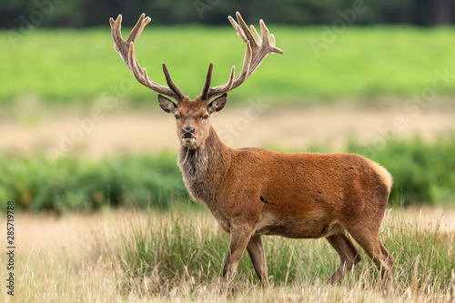 Poster Hert Red deer in richmond park