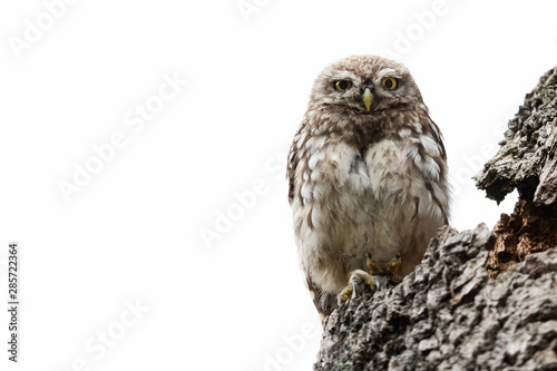Deurstickers Uil Little owl in the tree