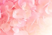 Hydrangea With Soft Pastel Col...