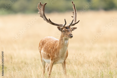 Fototapeta Fallow deer in richmond park obraz