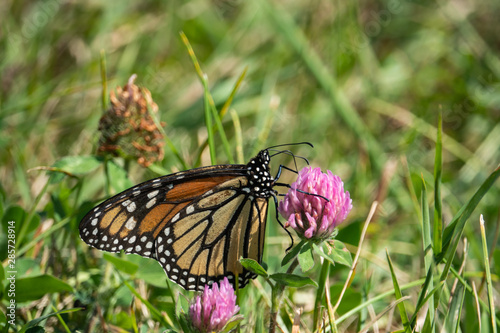 Monarch Butterfly Feeding on Red Clover Flower