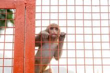 Baby Monkey Sitting On The Fence Of The Bridge, Rishikesh, India.