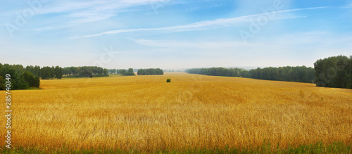 Beautiful landscape with panoramic scenery of golden agricultural field with ripe wheat and blue sky in a sunny day