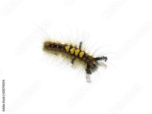Fotografia, Obraz The rusty tussock moth caterpillar Orgyia antiqua isolated on white