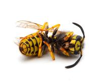Dead Western Yellowjacket Wasp, Vespula Pensylvanica, Side View, Isolated