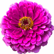Magenta Zinnia Flower