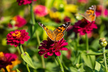 View Of Painted Lady Butterfly On The Red Flower In The Summer Garden