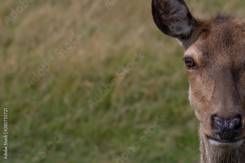 Photo Red deer doe, Cervus elaphus, close up portrait with half facial detail on a sunny summers day in Scotland