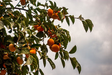 Yellow Persimmon Hanging On Tree Branches