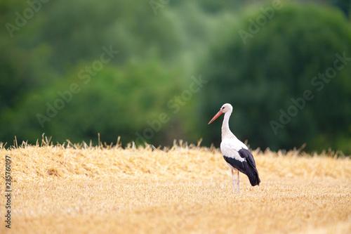 Naklejki Bocian  white-stork-ciconia-ciconia-searching-for-food-on-a-stubble-field-near-frankfurt-germany