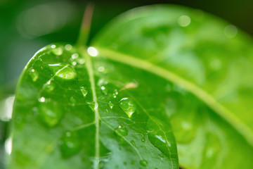 Water drops on green leaves. Drop of dew after the rain..
