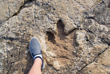 Dinosaur Footprint In Rock