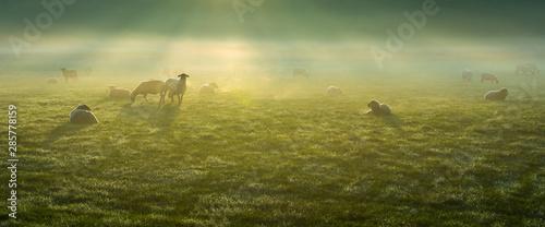 Fotobehang Schapen Schafe im Frühnebel auf den Ruhrwiesen in Duisburg