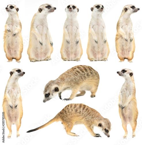 Fototapeta cute meerkat ( Suricata suricatta ) isolated