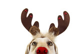 Fototapeta Zwierzęta - Close-up labrador dog christmas reindeer antlers costume. Isolated on white background.