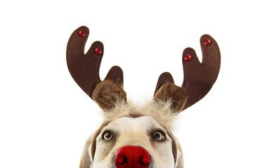 Close-up labrador dog chris...