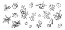 Set Of Outlines  Berries. Hand Drawn Illustration Converted To Vector