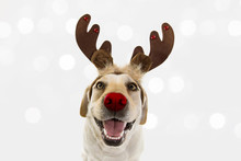 DOG CHRISTMAS REINDEER ANTLERS. FUNNY LABRADOR WITH RED NOSE AND HOLIDAYS COSTUME. ISOLATED AGAINS GRAY BACKGROUND.